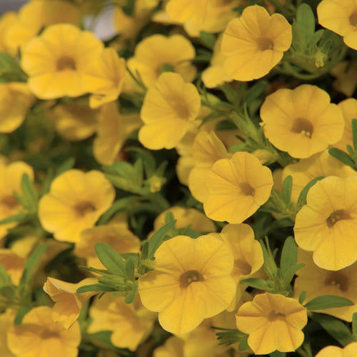 Million Bells 'Trailing Yellow' by Proven Winners (Calibrachoa)