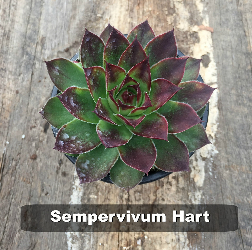 deer resistant drought tolerant drought tolerant perennial full sun perennial Groundcover Hardy Perennials hens and chicks sempervivum succulent succulent drought-tolerant