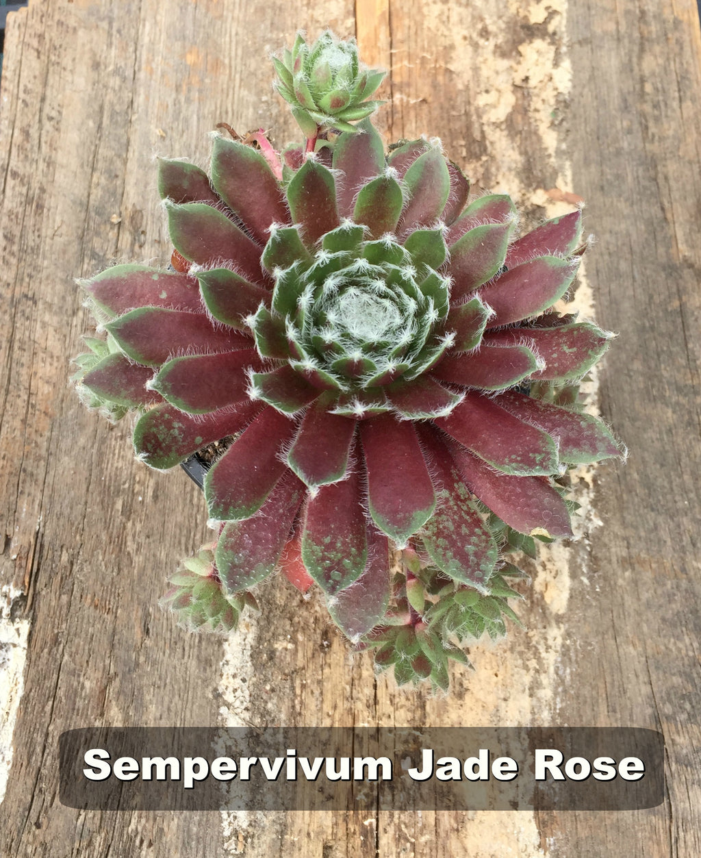 deer resistant drought tolerant drought tolerant perennial full sun perennial Groundcover Hardy Perennials hens and chicks jade rose sempervivum sempervivum succulent succulent drought-tolerant