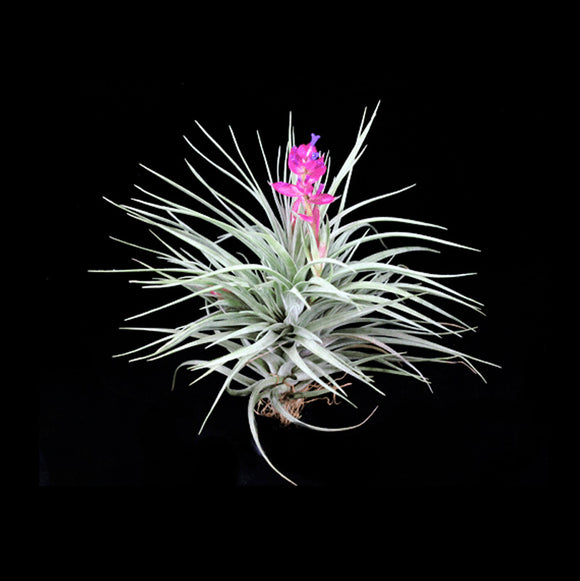 Air Plant- Tillandsia Stricta