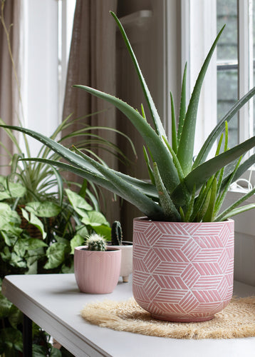 Succulents- Aloe Vera- Quart Pot