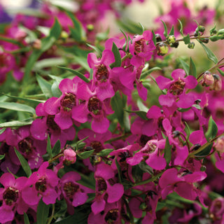 Angelonia 'Carita Raspberry' Summer Snapdragon