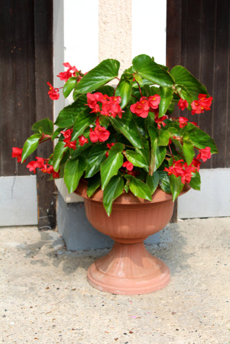 Dragon Wing Begonia Red
