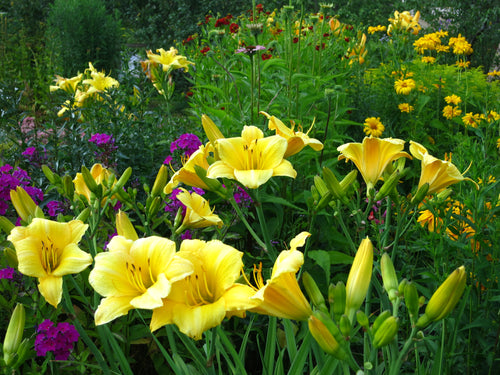 Daylily- 'Happy Returns' Hemerocallis
