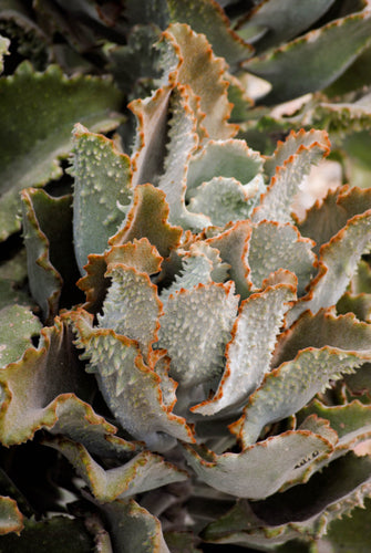Succulents- 'Fang' Kalanchoe beharensis