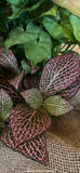 House Plants- Pink Fittonia Nerve Plant
