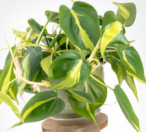 House Plants- Philodendron scandens 'Brasil'