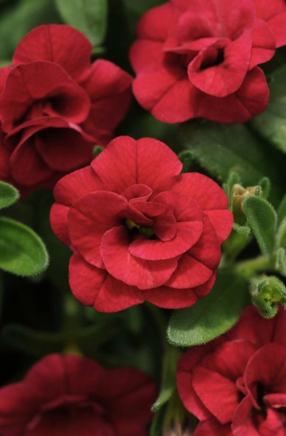 Calibrachoa Mini Famous Double Red
