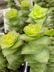 Succulents- Crassula 'String of Buttons'