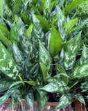 Chinese Evergreen 'Maria'