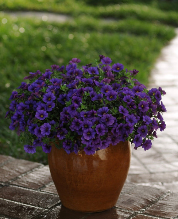 Calibrachoa 'Cabaret Deep Blue'