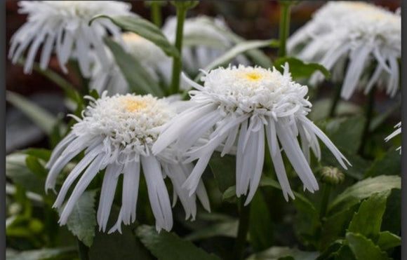 Shasta Daisy 'Double Angel' by Proven Winners
