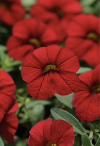 Calibrachoa 'Cabaret Red' (Calibrachoa)