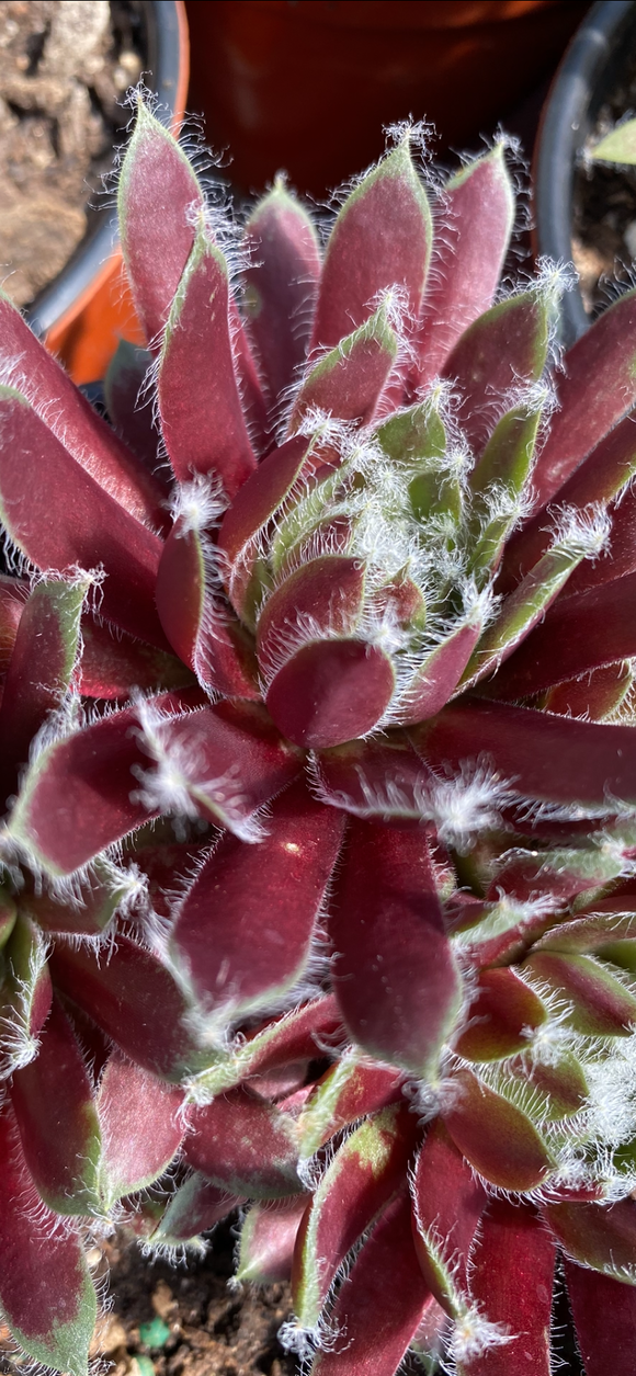 Succulents- Hens & Chicks 'Jade Rose' (Sempervivum)