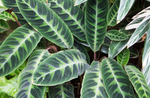 Jungle Velvet Calathea