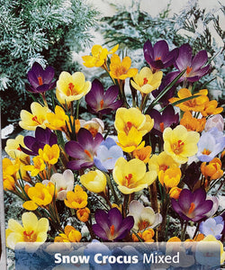 Crocus- mixed Snow Crocus