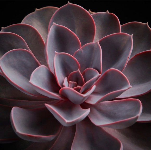 Succulents- Echeveria 'Red Sky' (Echeveria hybrid)