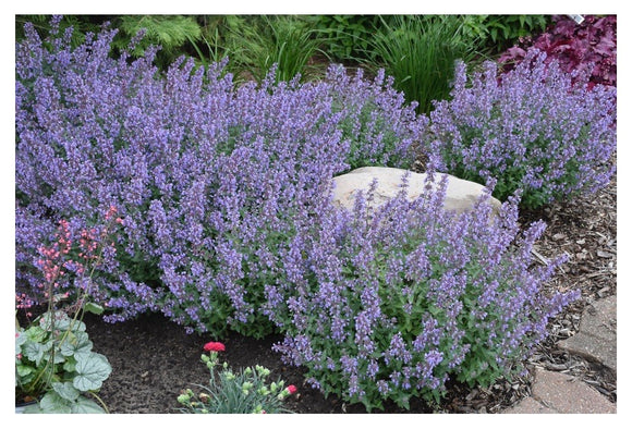 'Cats Meow' Catmint