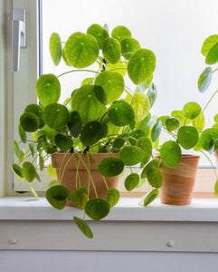 House Plants- Pilea Money Plant
