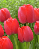 Tulip Red Pride