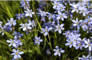 Blue Eyed Grass 'Blue Note' (Sisyrinchium angustifolium)