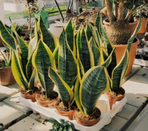 Sansevieria trifasciata 'Laurentii' (Striped Mother-in-law's Tongue)