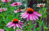 Echinacea purpurea Native Coneflower