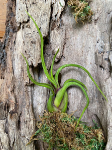 Air Plants- Tillandsia 'Medusa'