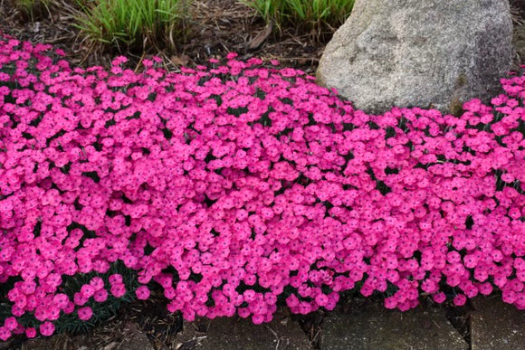 Dianthus (Paint the town magenta)