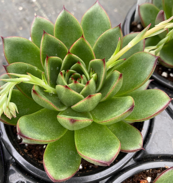 Succulents- Echeveria 'Red Tip'
