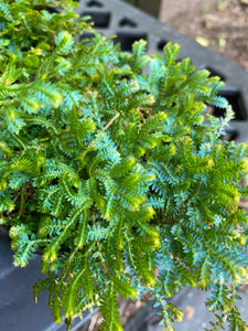 Peacock Fern Selaginella