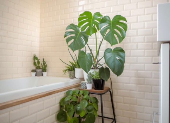 House Plants- Monstera delicioso 'Swiss Cheese Plant'