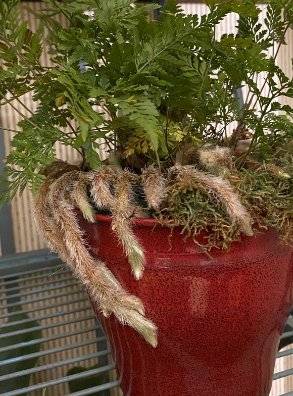 House Plants- White Rabbits Foot Fern (Davallia Fejeensis)