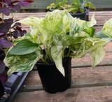 House Plants- Marble Queen Pothos