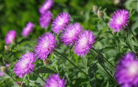Peachies Pick Stokesia