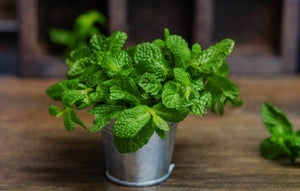 Herbs- Spearmint 'Kentucky Colonel'