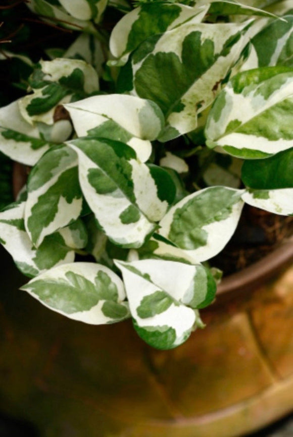 House plants- 'Glacier' Pothos
