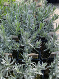 Silver Mist English Lavender