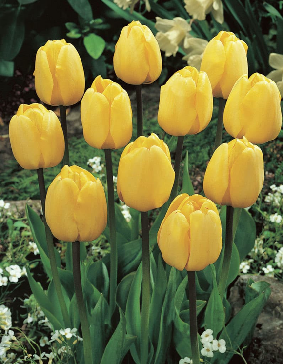 Tulip Golden Parade
