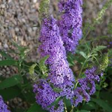 Dwarf Butterfly Bush 'Sky Blue'