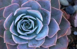 Succulents- Echeveria 'Blue Prince'
