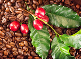 Coffee Plant 'Arabica'