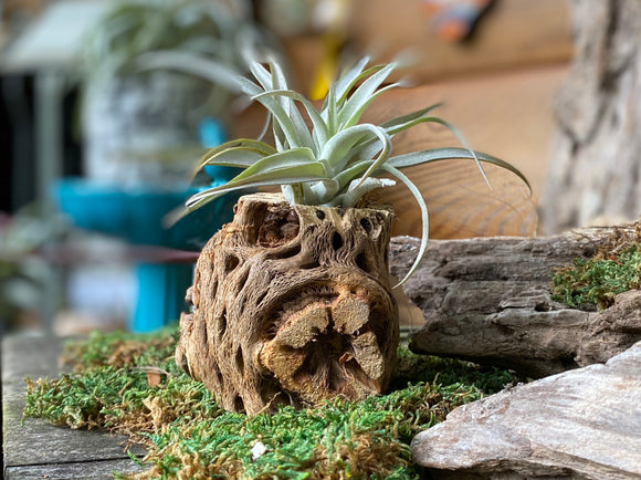 Air Plant Chola Wood- thick wall