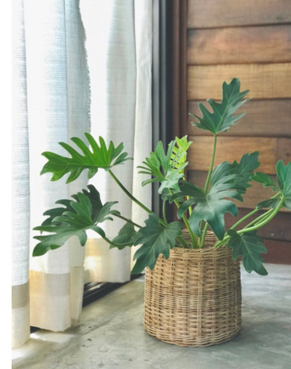 Little Hope Philodendron