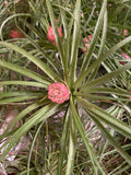 Air Plants- Tillandsia Stricta 'Soft Leaf'