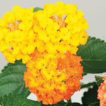 Lantana 'Bandito Orange Sunrise'