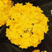 Lantana 'Lucky Yellow'
