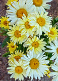 Shasta Daisy 'Banana Cream' Leucanthemum by Proven Winners