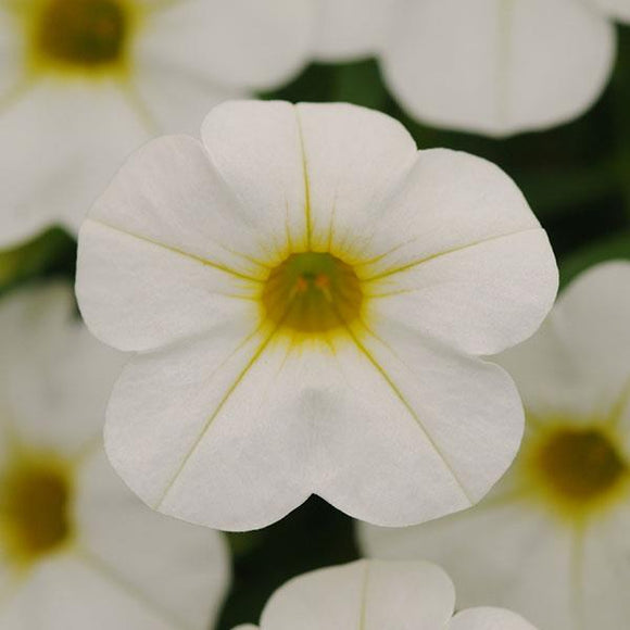 Calibrachoa 'Cabaret Bright White'