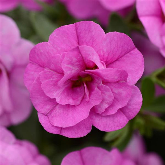 Calibrachoa 'Mini Famous Double Pink'